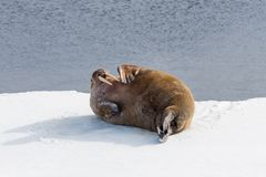 Walrus lying on the pack ice north of Spitsbergen. Island, Svalbard, Norway, Scandinavia royalty free stock photo