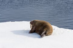 Walrus lying on the pack ice north of Spitsbergen. Island, Svalbard, Norway, Scandinavia stock photos