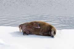 Walrus lying on the pack ice north of Spitsbergen. Island, Svalbard, Norway, Scandinavia stock photo