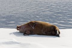 Walrus lying on the pack ice north of Spitsbergen. Island, Svalbard stock image