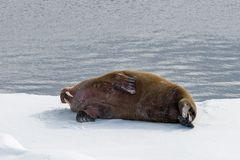 Walrus lying on the pack ice north of Spitsbergen. Island, Svalbard royalty free stock photos