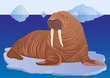 Walrus on ice floe Royalty Free Stock Images
