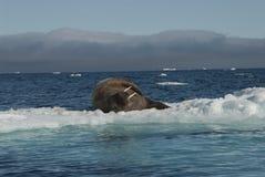Walrus on an ice floe stock photos