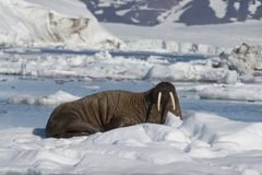 Walrus on ice flow stock photo