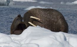 Walrus on ice flow stock image