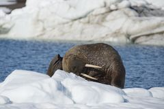 Walrus on ice flow stock images