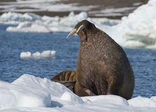 Walrus on ice flow royalty free stock photo