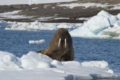 Walrus on ice flow royalty free stock photography