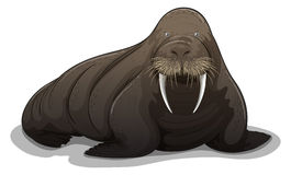 Walrus royalty free illustration