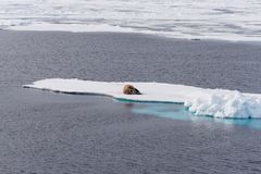 Walrus lying on the pack ice north of Spitsbergen Island. Svalbard stock image