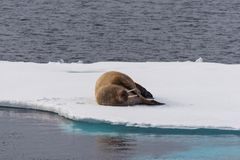Walrus lying on the pack ice north of Spitsbergen. Island, Svalbard, Norway, Scandinavia royalty free stock photos