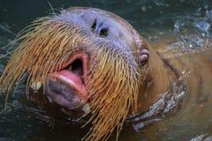 Walrus male head in pool Stock Photos