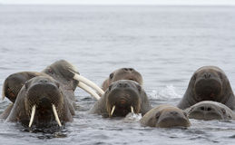 Walrus male and his females. A male walrus and his groups of curious females Royalty Free Stock Photo