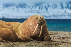Norway landscape nature walrus on an ice floe of Spitsbergen Longyearbyen Svalbard arctic winter polar sunshine day sky. The walrus is a marine mammal, the only royalty free stock photography