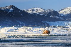 Norway landscape nature walrus on an ice floe of Spitsbergen Longyearbyen Svalbard arctic winter polar sunshine day sky. The walrus is a marine mammal, the only stock image