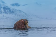 Norway landscape nature walrus on an ice floe of Spitsbergen Longyearbyen Svalbard arctic winter polar sunshine day sky. The walrus is a marine mammal, the only stock photo