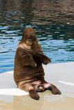 Walrus in oceanarium Stock Image
