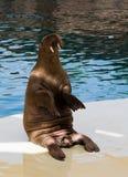 Walrus in oceanarium Stock Photos