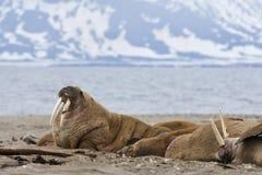 Walrus, Odobenus-rosmarus stock foto