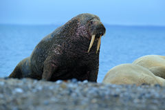 Walrus, Odobenus rosmarus, big animal stick out from blue water on pebble beach, in nature habitat, Svalbard, Norway Stock Photos