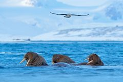 Walrus, Odobenus rosmarus, large flippered marine mammal, in blue water, Svalbard, Norway. Detail portrait of big animal in the oc. Ean Royalty Free Stock Photo