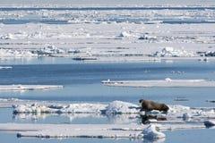 Walrus, Odobenus rosmarus. Walrus liggend op het pakijs; Walrus lying on the pack ice stock photos