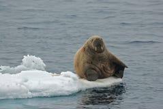 Walrus, Walrus, Odobenus rosmarus,. Walrus liggend op ijs; Walrus lying on ice stock image
