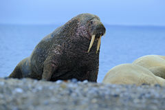 The walrus, Odobenus rosmarus, stick out from blue water on pebble beach, Svalbard, Norway. The walrus, Odobenus rosmarus, stick out from blue water on pebble Stock Photo