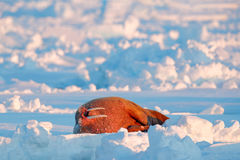 Walrus, Odobenus rosmarus, stick out from blue water on white ice with snow, Svalbard, Norway. Winter landscape with big animal. S Royalty Free Stock Images