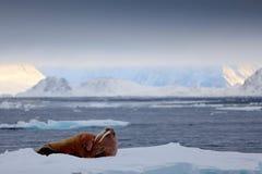 Walrus, Odobenus-rosmarus, stok uit van blauw water op wit ijs met sneeuw, Svalbard, Noorwegen De winterlandschap met groot dier  royalty-vrije stock foto's