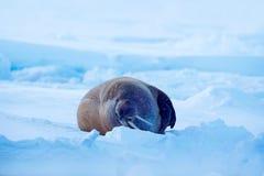 Walrus, Odobenus-rosmarus, stok uit van blauw water op wit ijs met sneeuw, Svalbard, Noorwegen De winterlandschap met groot dier  stock foto