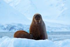 Walrus, Odobenus-rosmarus, stok uit van blauw water op wit ijs met sneeuw, Svalbard, Noorwegen Moeder met welp Jonge walrus met royalty-vrije stock foto's