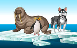 Walrus and penquin on iceberg Royalty Free Stock Photo