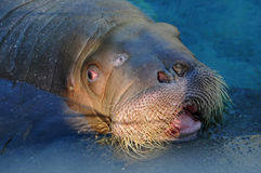 Walrus portrait Stock Images
