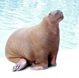 Walrus portrait Royalty Free Stock Photos