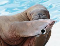 Walrus portrait in zoo Royalty Free Stock Image