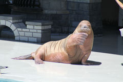 Walrus (Raised Flipper) Stock Photography