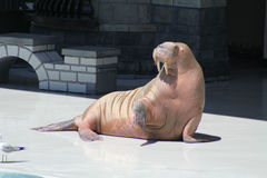 Walrus (raised flipper) Stock Images