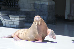 Walrus (raised flipper) Royalty Free Stock Photos