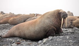 Walrus rookery Royalty Free Stock Images