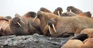 Walrus rookery Stock Image
