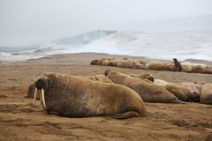 Walrus rookery Royalty Free Stock Photography