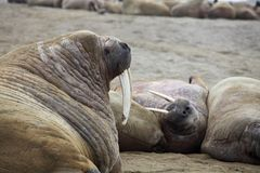Walrus rookery Royalty Free Stock Photos