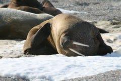 Walrus scratch himself on ice