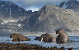Walrus in Svalbard/Spitsbergen royalty-vrije stock afbeeldingen