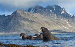 Walrus in Svalbard/Spitsbergen stock afbeeldingen