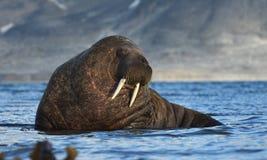 Walrus in Svalbard/Spitsbergen stock foto