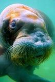 Walrus underwater Royalty Free Stock Photo