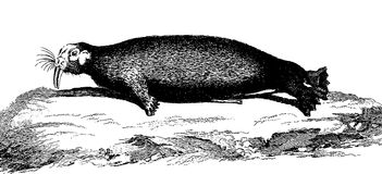Walrus. Vintage engraved illustration. Diderot and d'Alembert encyclopedia (1751-1780 Stock Photo