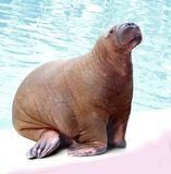 Walrus in water Stock Photo
